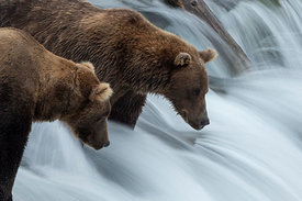 Brown Bears on Brooks Falls, Alaska, USA