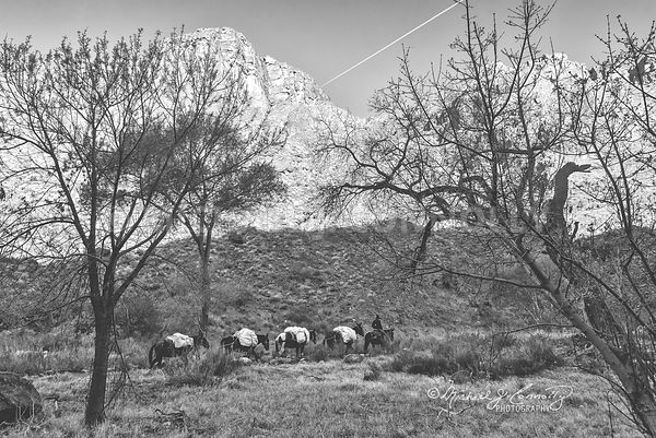 Mule Train Arriving At Phantom Ranch