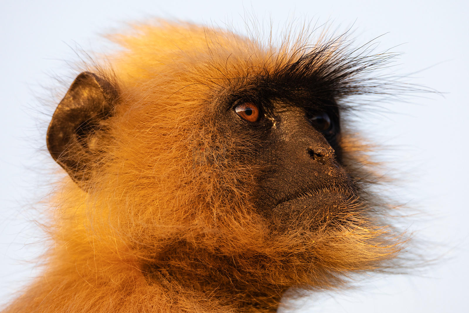 Portrait of a Commom Langur