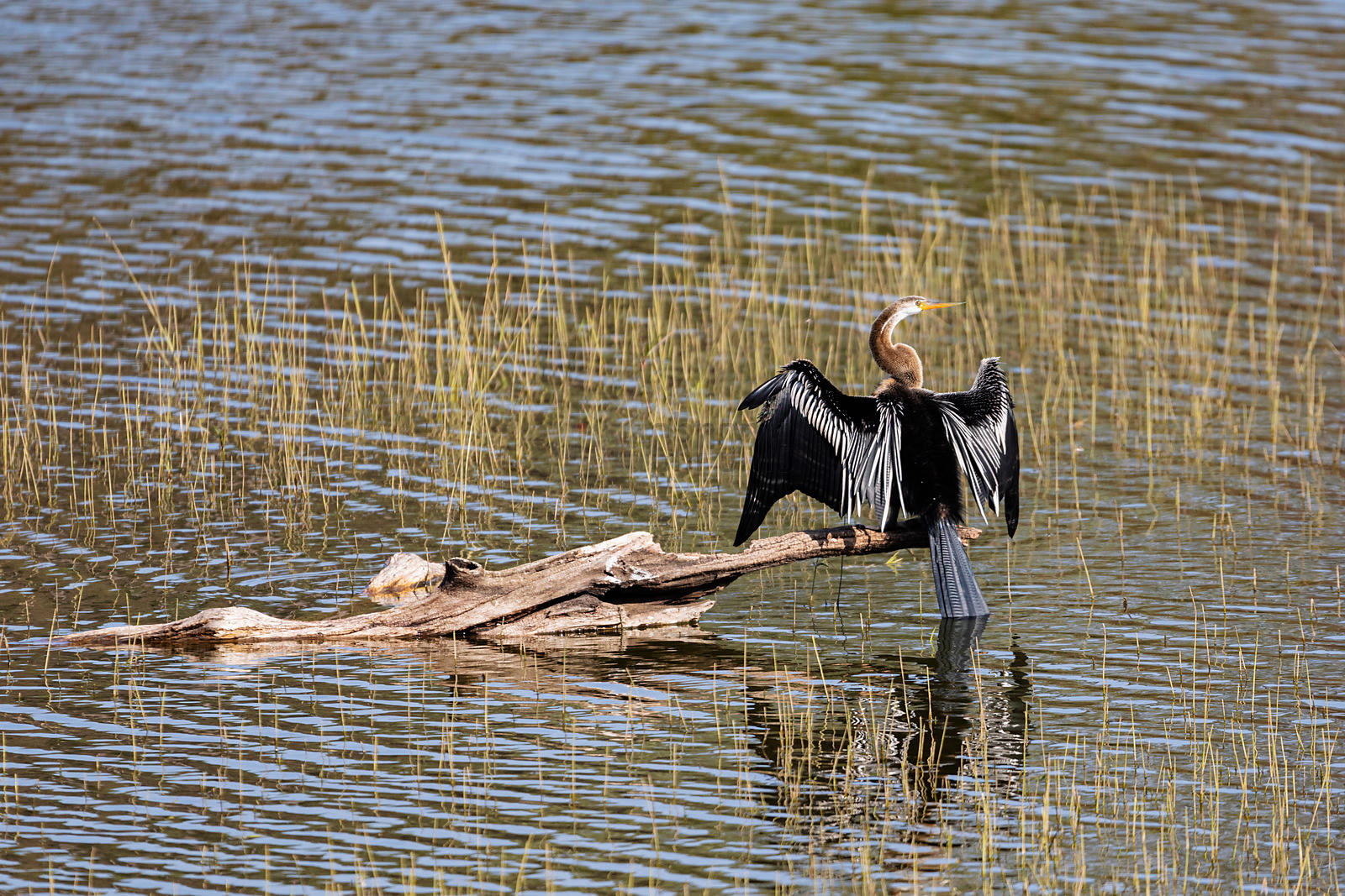 A Darter Dries its Wings