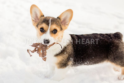 Corgi puppy with leaf