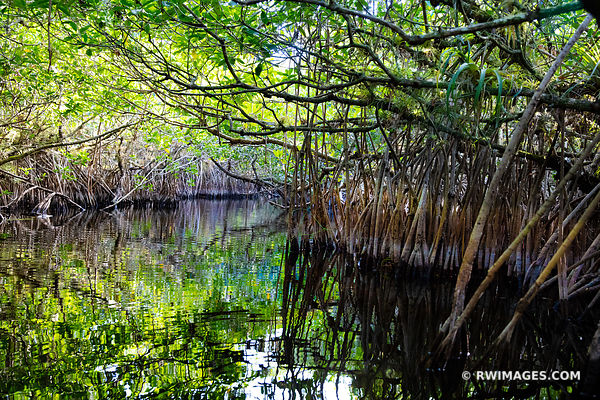 TURNER RIVER CANOE TRAIL MANGROVE TUNNELS BIG CYPRESS NATIONAL PRESERVE EVERGLADES FLORIDA COLOR