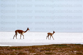 Adult and young vicuñas (Vicugna vicugna) on shore of the Salar de Uyuni in the rainy season, Bolivia