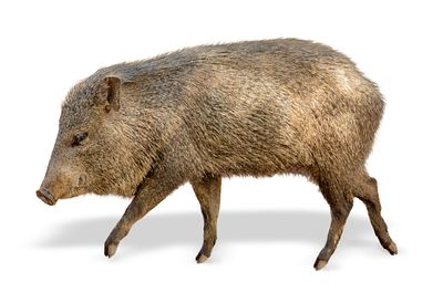 Javelina Pig Facing Side Extracted
