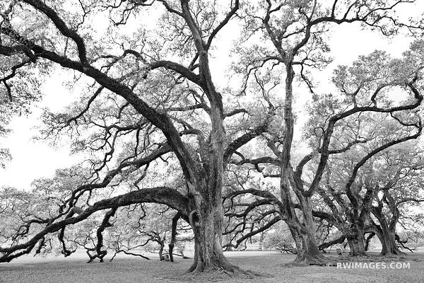LIVE OAK TREES OAK ALLEY PLANTATION VACHERIE LOUISIANA BLACK AND WHITE