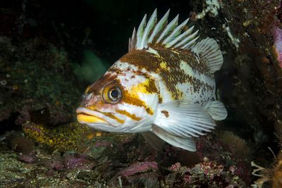 Closeup of Copper Rockfish, Sebastes caurinus, with bright yellow lower lip.