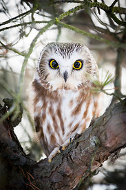 Canadian Owls 2015