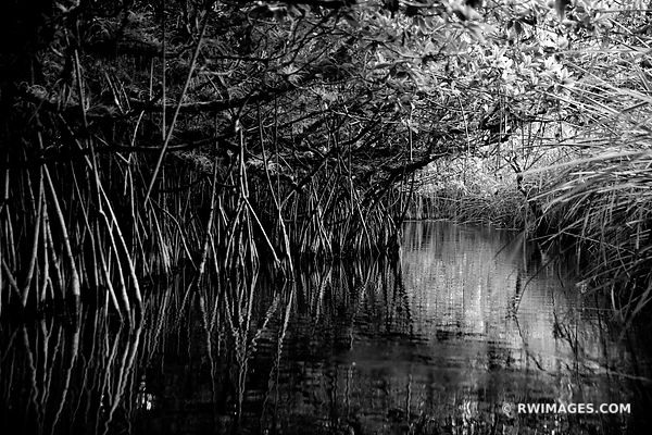 MANGROVE FOREST TUNNEL TURNER RIVER CANOE TRAIL BIG CYPRESS NATIONAL PRESERVE EVERGLADES FLORIDA BLACK AND WHITE