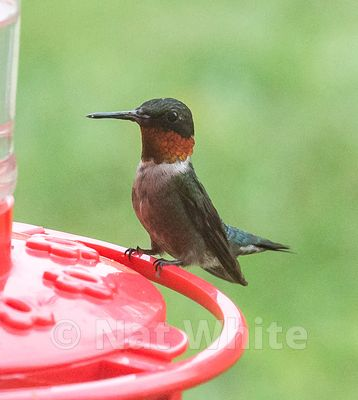 Hummingbird_Date_(Month_DD_YYYY)1_80_sec_at_f_7.1_NAT_WHITE