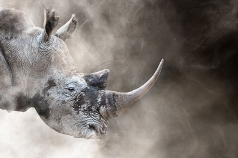 Southern_White_Rhino_In_The_Dust_1