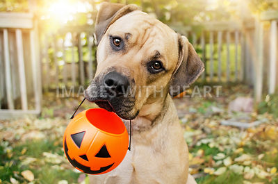 Dog holding pumpkin for treats