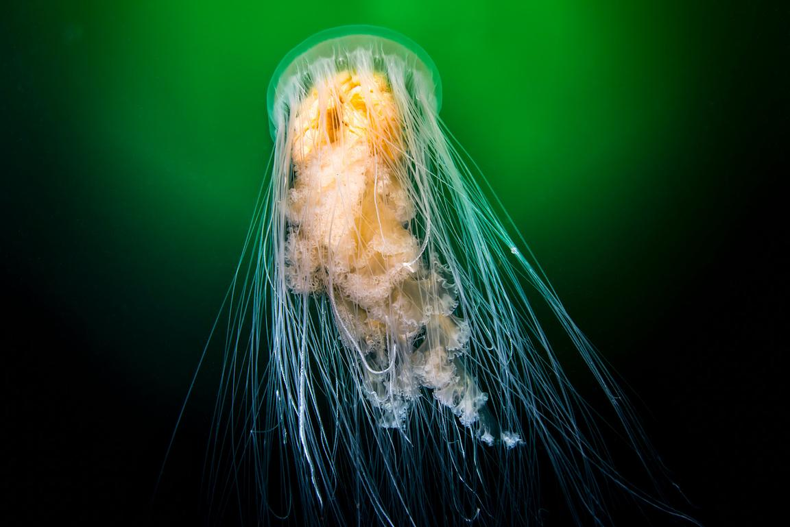 Fried Egg Jellyfish, Phacellophora camtschatica, in the Emerald Seas of British Columbia.