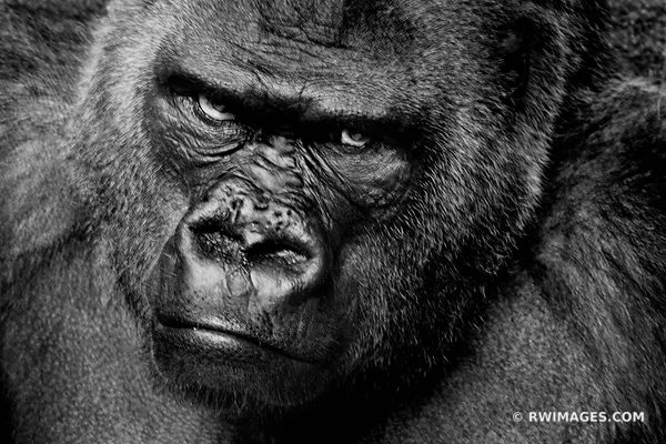GORILLA BLACK AND WHITE