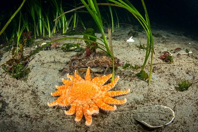 Orange coloured Sunflower Star, Pycnopodia helianthoides, among Eel Grass.