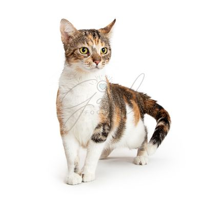 TriColor Young Cat Over White