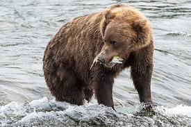 Brown Bear on Brooks River with Salmon, Alaska, USA