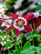 Columbine-red-1320_May_07_2019_