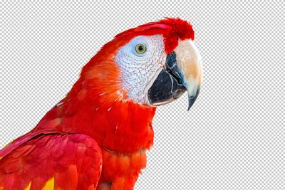 Close-up Scarlet Macaw Bird Profile Extracted