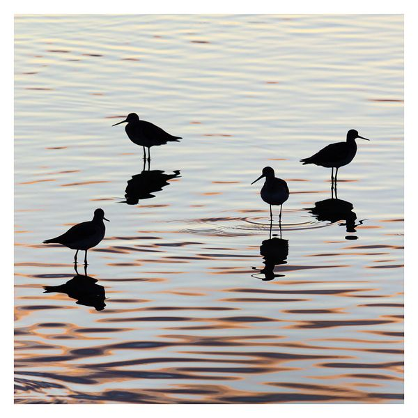 Shorebird Silhouettes at Sunrise
