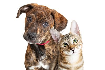 Cute Puppy and Kitten Closeup Looking at Camera