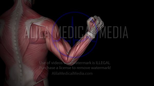 Muscles biceps et triceps, animation 3D.