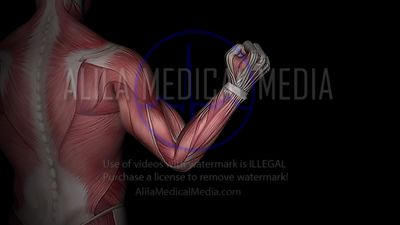 Biceps and triceps muscles at work, 3D animation.