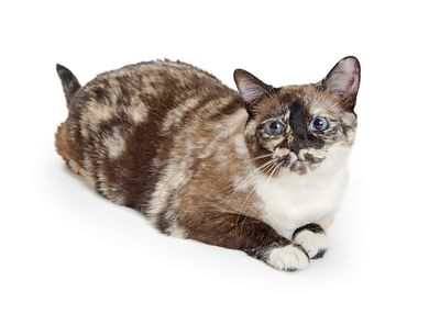 Brown and Cream Color Torbie Cat