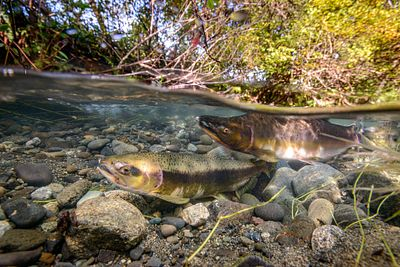 Pink Salmon Spawning sequence 2-03