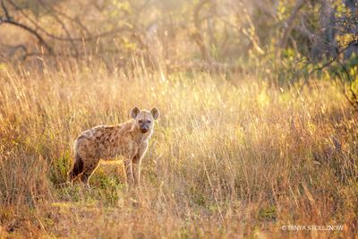 Hyena bathed in the warm light of sunrise, South Africa