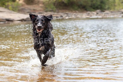 Black dog running through water at creek