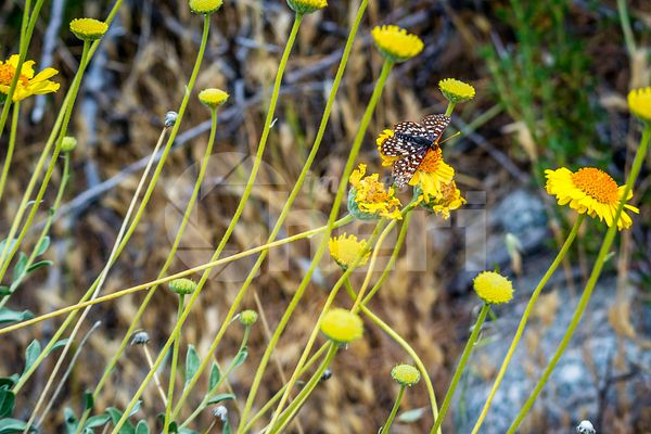 A Chequered Skipper in Palm Spring, California