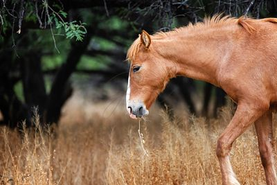 Wild Horse With Grass in Mouth