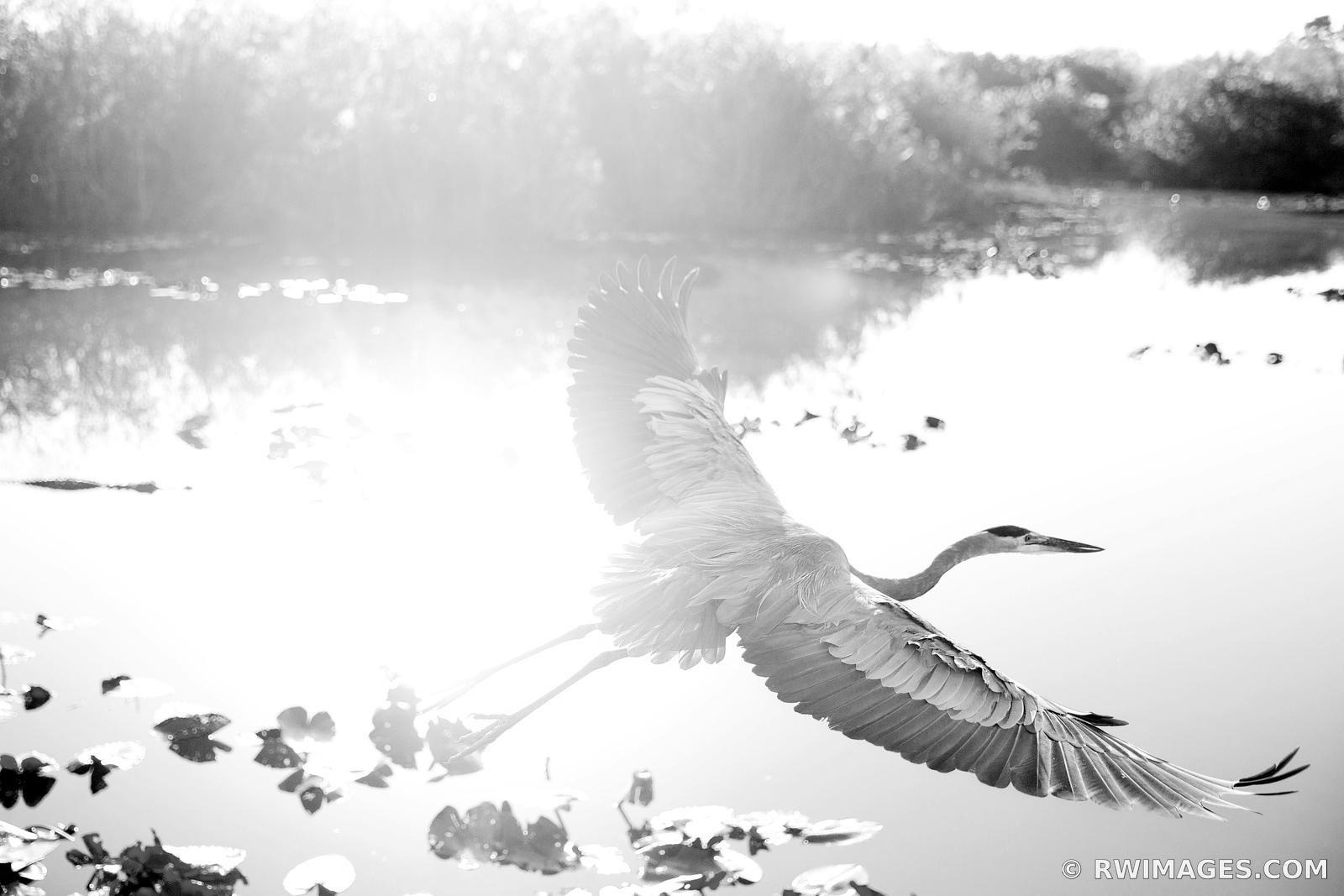 GREAT BLUE HERON ANHINGA TRAIL EVERGLADES NATIONAL PARK FLORIDA NATURE BLACK AND WHITE