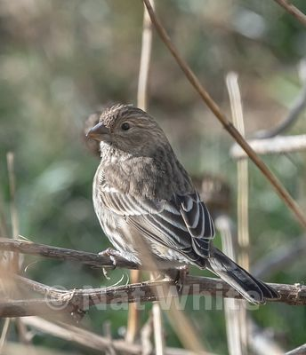 House_finch-3955_January_10_2021_NAT_WHITE
