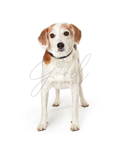 Beagle Crossbreed Dog Standing Facing Forward