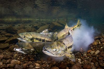 Chum salmon spawning sequence 1-12