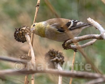 Goldfinch_on_cone_flower-3977_January_11_2021_NAT_WHITE