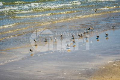 Flock of birds flying along the coastline of Padre Island NS, Texas