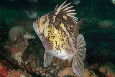 Mature female Copper Rockfish, Sebastes caurinus, getting close to giving birth to young.