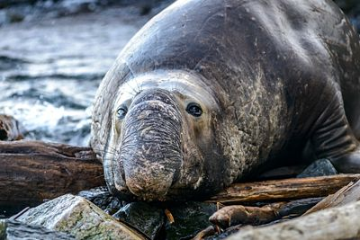 Male Elephant Seal, Mirounga angustirostris, laying on the shore at Race Rocks, Vancouver Island.