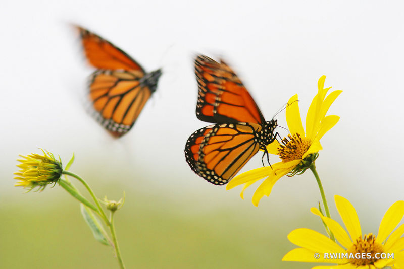 TWO MONARCH BUTTERFLIES MIDWESTERN PRAIRIE IN SUMMER