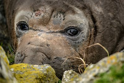 Closeup of male Elephant Seal pup, Mirounga angustirostris.