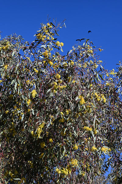 Eucalyptus woodwardii or Lemon Flowered Gum, Australia.
