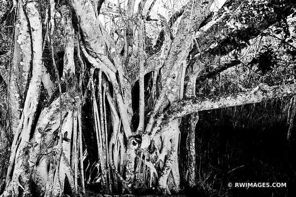 STRANGLER FIG TREE EVERGLADES NATIONAL PARK FLORIDA BLACK AND WHITE
