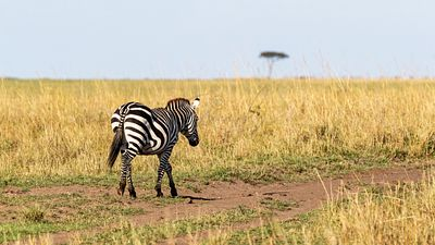 Zebra Walking Down Path in Kenya Africa