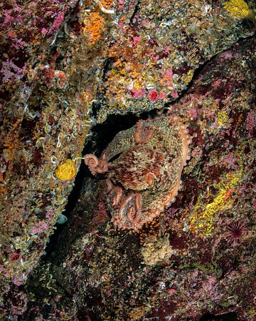 Giant Pacific Octopus, Enteroctopus dofleini, showing its ability to disguise against the rocky bottom.