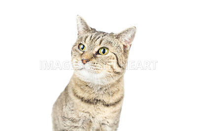 Tabby cat close up isolated on white
