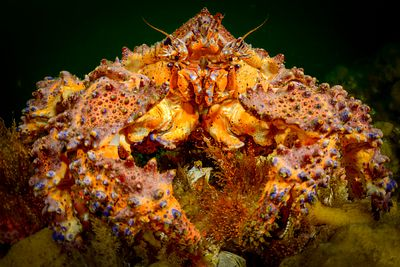 Face on to a Puget Sound King Crab, Lopholithodes mandtii, showing details of the mouth parts.