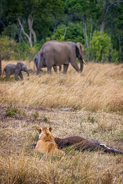 Lioness Eating Carcass Watching Elephants