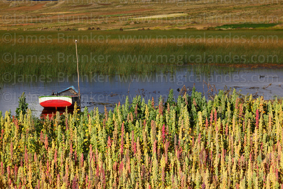 Sailing boat and field of quinoa plants ( Chenopodium quinoa ) growing on shores of Lake Titicaca, Bolivia